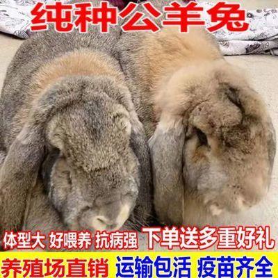 纯种巨型公羊兔  小白兔比利时兔子活物宠物兔家养肉兔苗包邮包活【6月8日发完】