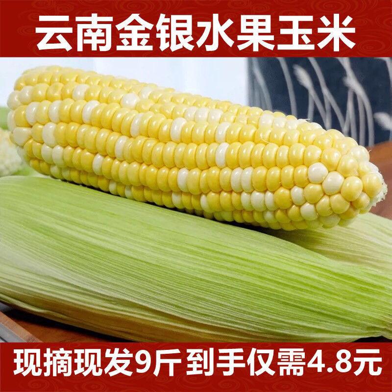 云南金银水果玉米 新鲜现摘现发 暴浆水果玉米生吃玉米可做玉米饼【5月15日发完】
