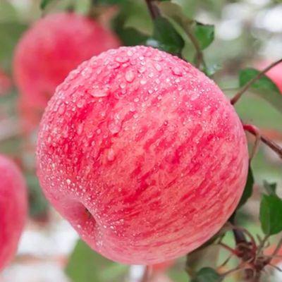 陕西正宗高原红富士苹果脆甜多汁绿色自种天然健康批发3斤5斤10斤