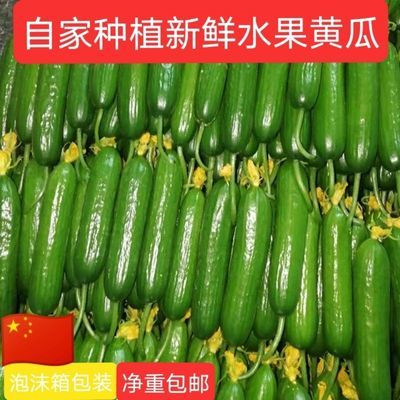 山东自家种植鲜嫩无公害无刺新鲜生吃水果黄瓜荷兰小黄瓜
