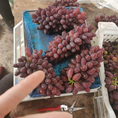 郁金香茉莉香葡萄当天现摘绿色自然果无籽孕妇推荐新鲜水果顺丰