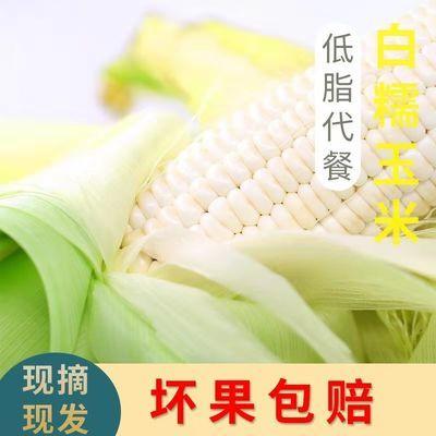 【减脂代餐玉米】甜糯多汁四川大凉山新鲜非转基因白糯玉米批发