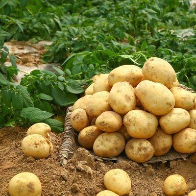 2021年新鲜土豆马铃薯洋芋 黄心大土豆 精品包装 现挖现发