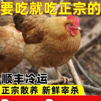31655/山农正宗2年老母鸡散养土鸡柴鸡草鸡月子鸡笨鸡【净重2.0-2.5斤】