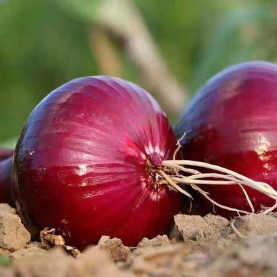 云南紫皮洋葱新鲜蔬菜 新鲜紫皮洋葱,新鲜蔬菜