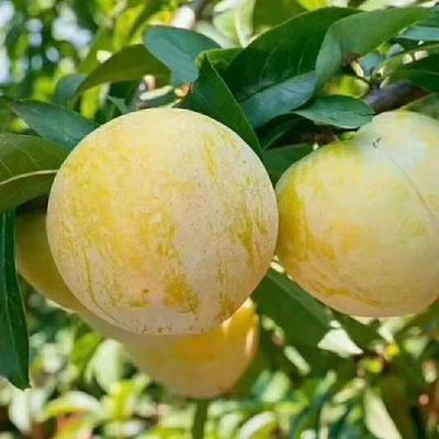 【自家果园】四川新鲜水果黄光李酸甜孕妇不脱骨软李子金凤李现货