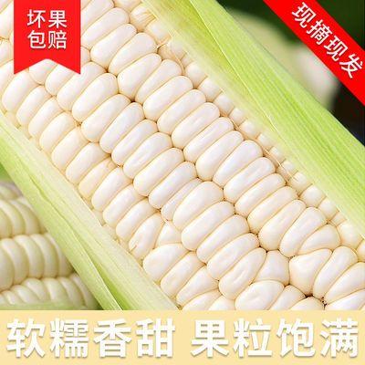 新鲜玉米现摘现发嫩黏玉米棒子苞米白糯玉米棒新鲜带壳香黏粘玉米