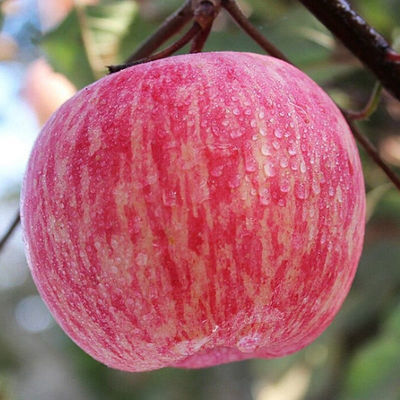 苹果冰糖心 阿克苏苹果水果新鲜 3斤 5斤 水果苹果河北