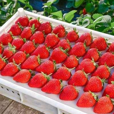 【草莓/生鲜】应季水果草莓商用一整箱批发奶茶蛋糕糖葫芦可用