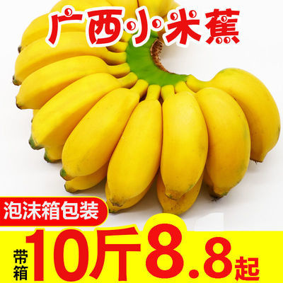【泡沫箱】新鲜香蕉小米蕉整箱批发南宁正宗米蕉现薄皮非成熟香蕉