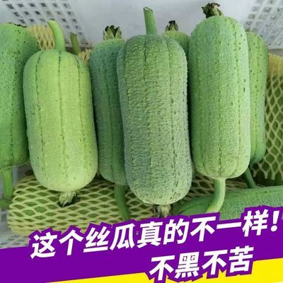 45891/福建丝瓜肉丝瓜新鲜 短棒胖台湾香丝瓜福建农家现摘新鲜蔬菜下奶
