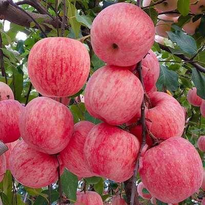 山东烟台栖霞红富士苹果当季新鲜水果脆甜5斤/10斤产地直发包邮