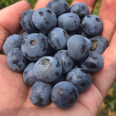 41297/新鲜蓝莓现摘蓝莓产地直达孕妇水果宝宝辅食