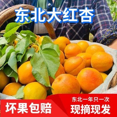 现摘现发新鲜杏子水果甜杏金太阳凯特杏梅时令水果黄杏5斤杏梅3斤