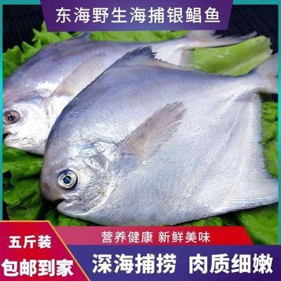 东海舟山野生海捕银鲳鱼海鲜银鲳鱼海鲜鲜活白鲳鱼海鲜批发金鲳鱼