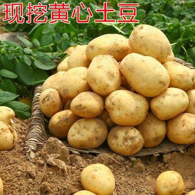 【土豆批发价】2021年新鲜现挖土豆 马铃薯 洋芋 黄心土豆5斤