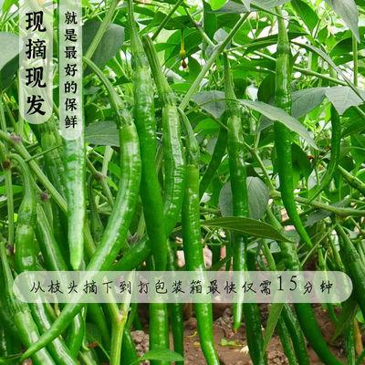 贵州二荆条青辣椒新鲜蔬菜遵义农家应当季特辣青线椒尖椒整箱批发