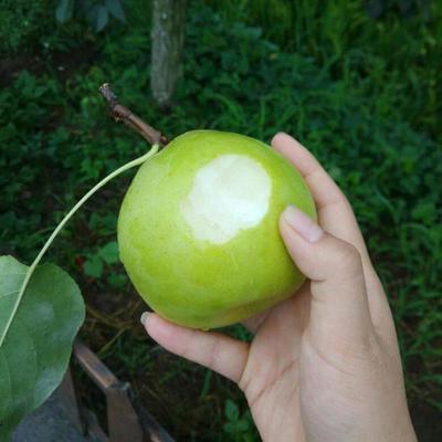 【梨中新贵】梨子皮薄超甜新鲜应季水果四川汉源特产金花梨脆甜