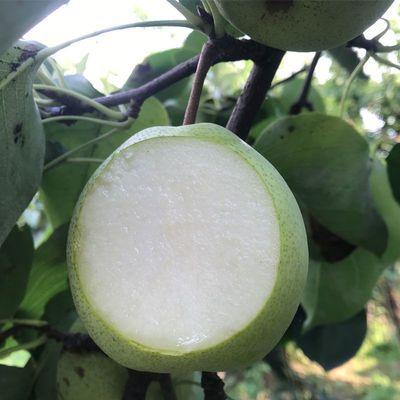 【冰糖梨】梨子皮薄超甜四川汉源金花梨新鲜应季水果脆甜青皮批发