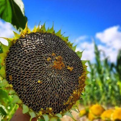 76016/2021年新鲜葵花盘带籽生向日葵带盘原味湿葵花籽瓜子盘葵花头