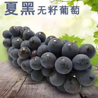 57637/现摘现发无籽夏黑葡萄优质葡萄自家生态种植现摘现发新鲜应季水果