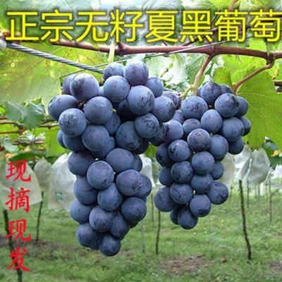 夏黑葡萄无籽新鲜夏黑爆甜水果现摘当季水果黑水晶提子非阳光玫瑰