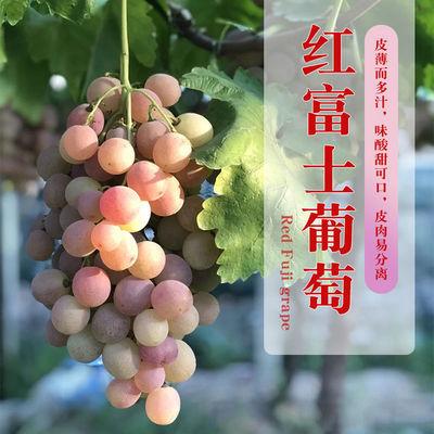 红富士葡萄包邮冷链运输鲜水果现摘现发自然熟香甜新鲜嫩多汁直发