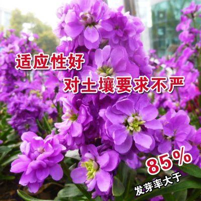 紫罗兰花种子耐寒易种秋播庭院园艺园林景观花卉种子春季播夏季花
