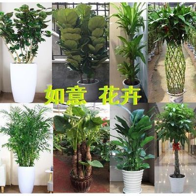 怀化市芷江县花卉店开业办公家居大型绿植盆栽发财树同城送货