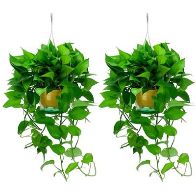 长藤绿萝盆栽植物室内除甲醛客厅水培绿植花卉盆景好养吊兰批发