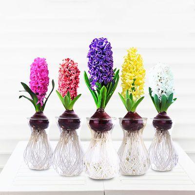 风信子种球水培植物盆栽花卉室内绿植四季好养百合洋水仙花卉种子