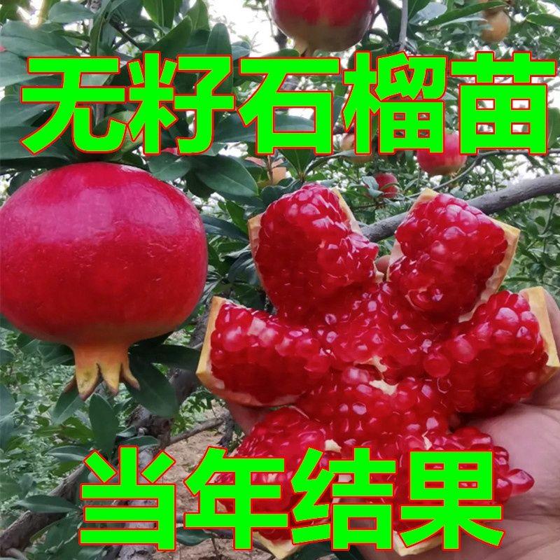 无籽石榴苗突尼斯软籽石榴树苗果树南方北方种植当年结果阳台庭院