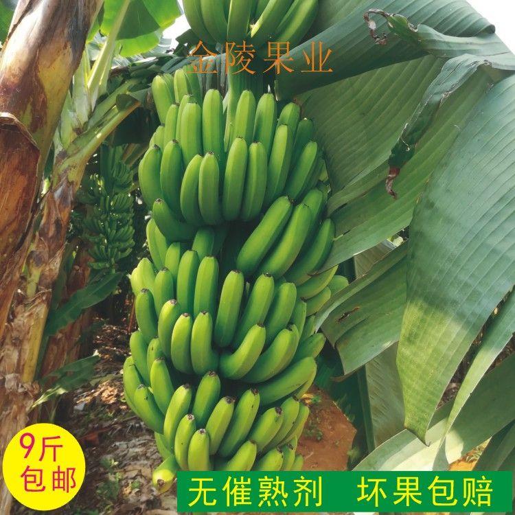 天天特价新鲜香蕉 农家现采现发